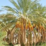 Merveilleux palmier dattier de l\'Oued