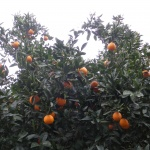 Orangers du Cap Bon
